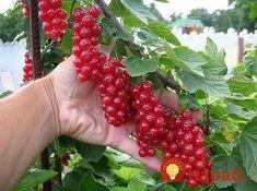 Un grădinar amator din Moscova a inventat o metodă prin care poate obține o… Fruit Tree Garden, Garden Trees, Fruit Trees, Outdoor Plants, Outdoor Gardens, Organic Gardening, Gardening Tips, Fruit Bushes, Growing Raspberries