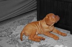 Dogue de bordeaux puppy, 9 weeks old.