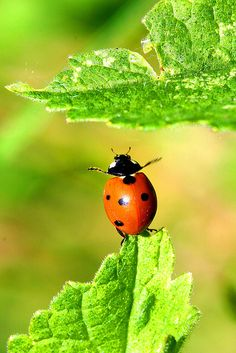 ladybug reaching for a leaf!