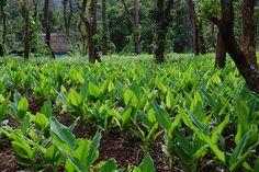 Turmeric plantations in 'Koynaadu', Kodagu     http://biocurmin.blogspot.com/2013/03/tac-dung-cua-nghe-trong-dieu-tri-viem-hang-vi-da-day.html