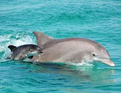 Baby dolphin swimming with her mother