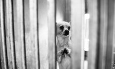 Shelter Chihuahua Begs For A Home In Moving Photos  - What a sweet baby - I wish I could adopt him...