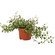 MUEHLENBECKIA Potted plant Wire plant ($3.91) ❤ liked on Polyvore featuring plants, fillers, flowers, home, item, detail and embellishment