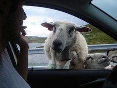 Pecore all'assalto in #norvegia! #LOL