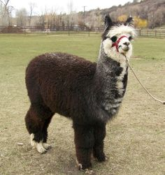 If I ever snap and just go absolutely bonkers one day, I want it to manifest in owning an alpaca farm.