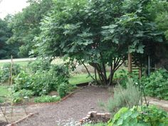 Hope my two get this size. Philadelphia County Master Gardeners: News from the Edible Landscape Demonstration Garden: brown turkey fig tree, lush and lovely