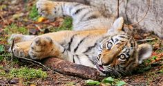 baby tiger 4k ultra hd wallpaper