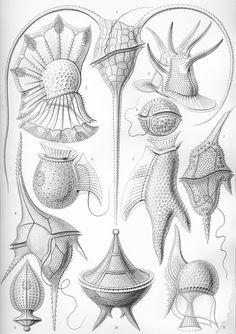 dinoflagellate - Google Search