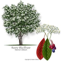 Rusty Blackhaw - Not native to the area but well adapted, deciduous, small tree, slow growth rate *fruit eaten by wildlife