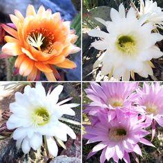 Today's assortment of courtyard blooms at the Gallery In The Sun! #TedDeGrazia #DeGrazia #Artist #Ettore #Ted #NationalHistoricDistrict #GalleryInTheSun #ArtGallery #Nonprofit #Foundation #Gallery #Adobe #Architecture #Art #Tucson #Arizona #AZ #SantaCatalinas #Desert #Courtyard #Cactus #Flores #Flowers #Blooms