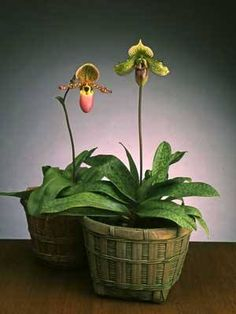 """paff-ee-oh-PED-ih-lumPaphiopedilums are often called """"slipper orchids"""" because of their unique pouch. They are easily grown as houseplants and their care is very similar to African Violets."""
