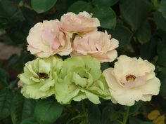 Greensleeves | Ludwigs Roses : Firm, semi-double pink blooms change slowly into a true green colour which they hold for a very long time. They are borne in clusters on long stems and are most unusual in flower arrangements. The bushes grow tall.