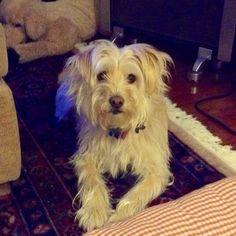 gisele!!! Wheaten Terrier Mix, Gisele, Look Alike, I Love Dogs, Animals, Animales, Animaux, Animal, Animais