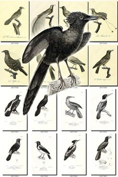 BIRDS-158-bw Collection of 225 black-and-white vintage images High resolution pictures digital download printable animals illustrations book           data-share-from=listing        >           <span class=etsy-icon