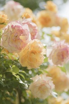 pastels.quenalbertini: Flowers, Ana Rosa