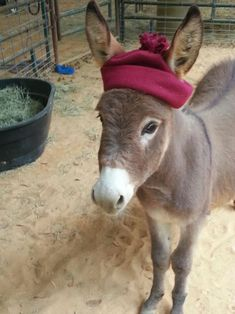 If you wonder what a donkey can eat, you can find all important feeding facts here. Take good care of your donkey with best information. Baby Donkey, Cute Donkey, Mini Donkey, Baby Cows, Baby Elephants, Cute Funny Animals, Cute Baby Animals, Animals And Pets, Wild Animals