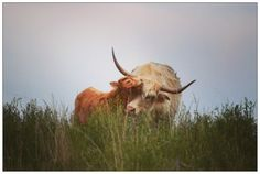 A personal favorite from my Etsy shop https://www.etsy.com/listing/492100013/postcard-highland-cow-and-calf-farm-life