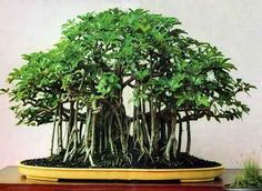 Schefflera bonsai?! I think I'm in love. Now if only I had the dedication to go with it.