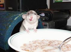 Funny animals-adorable- - Animals Photo (13555278) - Fanpop Funny Animal Pictures, Cute Funny Animals, Cute Baby Animals, Animals And Pets, Cute Pictures, Rats Mignon, Dumbo Rat, Baby Dumbo, Cute Rats