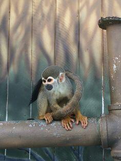 Eles estão por toda parte. São brincalhões e muito sapecas! | Fauna da Amazônia. #macacodecheiro #bichosdamata #shootingday #brasiltrip #macacos #tropicalparadise #fauna #macacoesquilo #Brasil #Brazil #terrabrasilis #tropicalmood #animalplanet #jungleland #jungle #amazônia #amazonas #wildlife #descobrindoobrasil #monkeys #instatrip #wildtrip #RDphotos #matavirgem #selvaamazônica