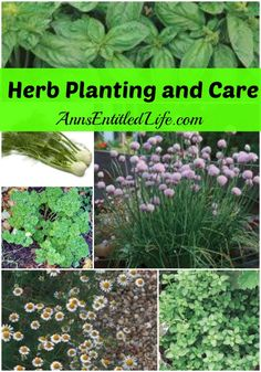 Herb Planting and Care  - I purchased a variety of herbs this year for my garden. I had considered herb gardening since last year, and made it fact with earth turning, seedling purchasing and planting this year. This is seedling, companion planting and maintenance instructions.  http://www.annsentitledlife.com/how-does-your-garden-grow/herb-planting-and-care/