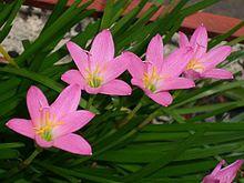 Zephyranthes rosea - Wikipedia, the free encyclopedia