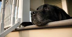 A diagnosis of hypothyroidism in your dog seems simple enough at first. Your dog's thyroid glands are just not producing enough hormones, leading to symptoms like lethargy, weight gain, cold intolerance, skin issues, and even behavioral changes. As a result, your dog will need hormone replacement therapy. Natural Solutions The reality is nothing about hypothyroidism... Continue Reading