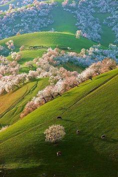 Spring Apricot Blossoms, Shinjang, China [] looks like a scene from a studio ghibli film o_O
