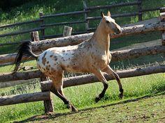 50% Akhal-Teke, 25% Arabian, 25% Appaloosa stallion Golden Globe A