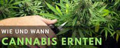 Wie und wann Cannabis Pflanzen ernten https://www.irierebel.com/guides-anleitungen/geschlecht-klone-und-ernte/wie-und-wann-cannabis-pflanzen-ernten #Cannabis #Hanf