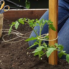 Growing Tomatoes Tips Plant a stake just outside the rootball and tie your vine to it as it grows. Sunset associate garden editor Julie Chai shows how - Plant a stake just outside the rootball and tie your vine to it as it grows Tips For Growing Tomatoes, Growing Tomato Plants, Grow Tomatoes, Tomato Pruning, Dried Tomatoes, Cherry Tomatoes, Backyard Vegetable Gardens, Garden Plants, Gardens
