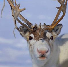 The Scientific Reason Why Reindeer Have Red Noses | Surprising Science