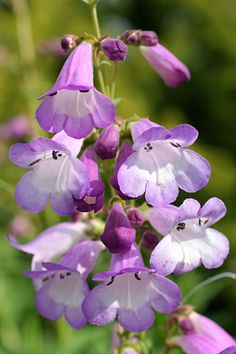 How and when to prune Penstemon / Royal Horticultural Society