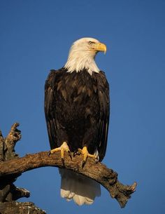 Google Image Result for http://www.nearfamous.com/Images/NearFamousWebImagesOptimized/BaldEagles/3469-13BaldEaglePerched.jpg