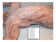 cat dissection muscles - Google Search