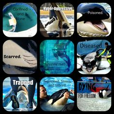 Captive Orcas are. by on DeviantArt Orcas, Save The Whales, Animal Activist, Stop Animal Cruelty, Marine Biology, Save Animals, Killer Whales, Sea World, Animal Rights