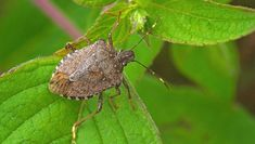 Here's how to get rid of the foul-smelling pests. A new study shows that 95 percent of the stink bugs that did not find indoor shelter were killed in January's subzero temperatures. Stink Bug Smell, Stink Bugs, Ficus Pumila, Calathea, Rotation Des Cultures, Fall Starts, Pest Management, Flying Insects, Garden Pests