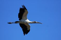Woodstork in flight