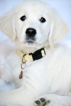Rio the Golden Retriever Puppy