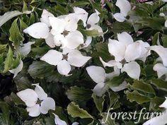 Cornus kousa Autumn Rose
