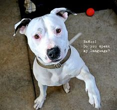 Pictures of Rolly Von Roland a American Pit Bull Terrier for adoption in Oakland, CA who needs a loving home.
