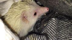 Snacking mealworms #hedgehog #africanpygnyhedgehog
