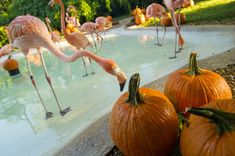 Flamingos and Pumpkins are the perfect symbol of Fall in Florida. SeaWorld Orlando offers seasonal enrichment for tropical flamingos with pumpkins! Coastal Fall, Seaworld Orlando, Sea World, Carrie, Pumpkins, Tropical, Florida, Fancy, Check