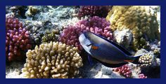 The Sohal Surgeonfish is so elegant and a quick fish in the coral reefs. Glad to have captured it a few times and here with the colorful corals. #sealife #giftidea #photoprint #underwaterphotography