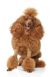 Toy Poodle Dog Breed Lifespan