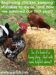 Beginning chicken keeping: Mistakes to avoid, and how we survived our first year! (Funny story with helpful advice). Best Egg Laying Chickens, Types Of Chickens, Meat Chickens, Raising Chickens, Chickens Backyard, Keeping Chickens, Funny Chicken Memes, Chicken Humor, Leghorn Chickens