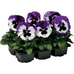 Pensé storbl. 6-pack lila