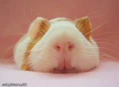 little pig!!!!  at one time i had 32!!!  did you know that that guinea pigs can get pregnant within hours of giving birth? neither did i!!! dt
