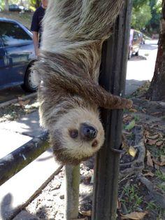 Manaus, Amazon, Brazil.  Sloth - Preguiça.