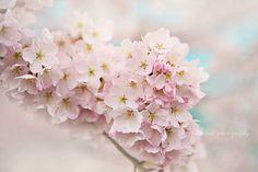 Cherry blossom photograph pastel pink aqua by VintageChicImages #cherryblossom #spring #wallart #homedecor #pastel #flowers